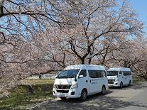 新江の桜並木を見に来ました